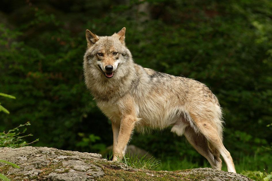 Волчья работа: в Беловежской пуще необычная вакансия