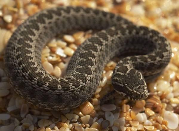 Побережье Болгарии кишит змеями