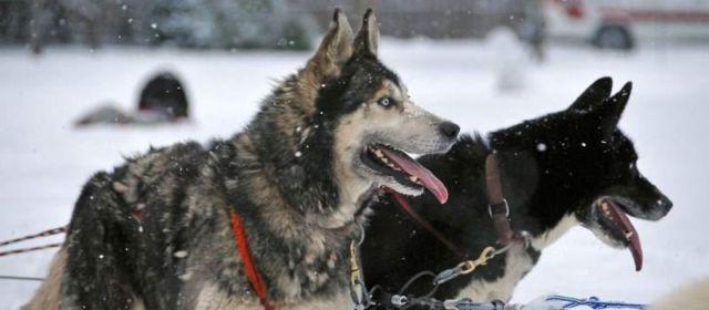 На«Алтайской зимовке» впервые состоится Фестиваль северных ездовых собак