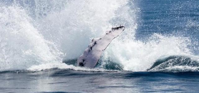 Мертвые киты могут привлекать туристов на Шпицберген