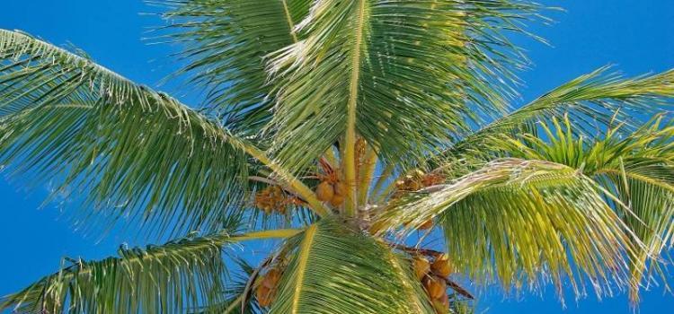 Успей на фестиваль кокосов в Доминикану